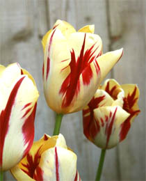 tulipa grand perfection Тюльпан Гранд Перфекшн(Tulip Grand Perfection)