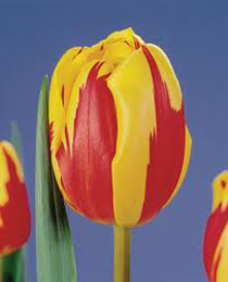 tulipa holland queen Тюльпан Холланд Куин (Tulip Holland Queen)